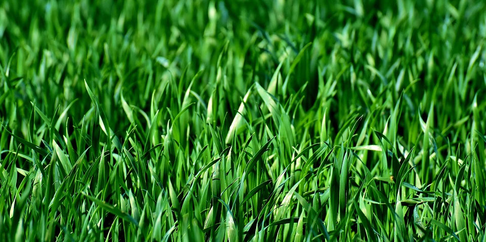 Coffee Grounds for Growing Healthy Grass