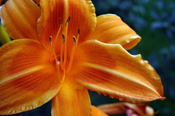 Orange Daylily Art Photo